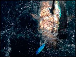 Tunita Flighter 31cm / REF. V31 / 180 kg
