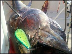 Tunita Yampuga 31cm / REF. Y31 / 332 kg